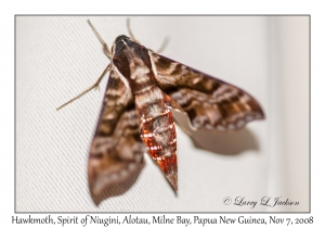 Unknown Hawkmoth