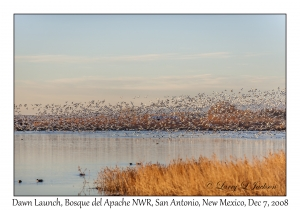 Dawn Flight of the  Snow Geese