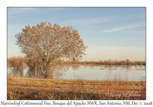 Narrowleaf Cottonwood Tree