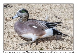 American Widgeon male