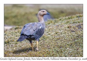 Greater Upland Goose, female