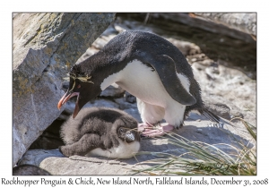 Rockhopper Penguin & chick