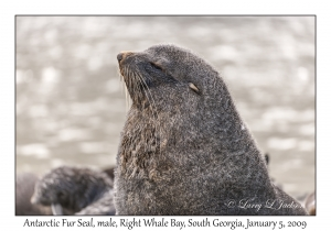 Antarctic Fur Seal, male