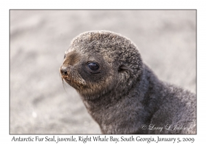 Antarctic Fur Seal, juvenile