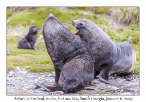 Antarctic Fur Seal, males