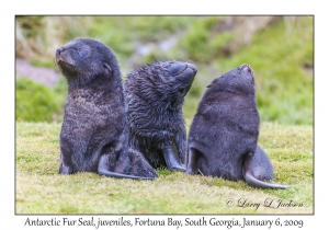 Antarctic Fur Seal, juveniles