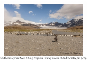 Southern Elephant Seals & King Penguins