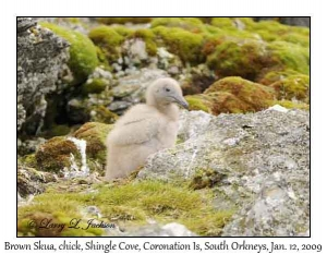 Brown Skua chick