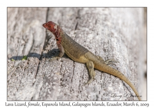 Lava Lizard, female