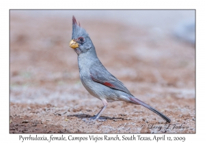 Pyrrhuloxia, female