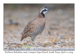 Northern Bobwhite, male