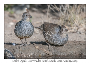 Scaled Quails