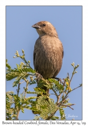 Brown-headed Cawbird, female