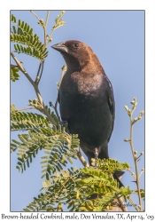 Brown-headed Cawbird, male