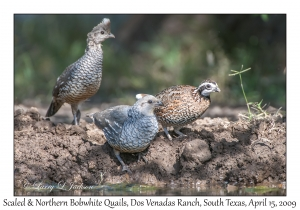 Northern Bobwhite male & Scaled Quails