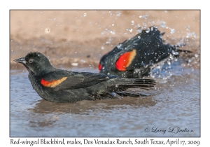 Red-winged Blackbird, males