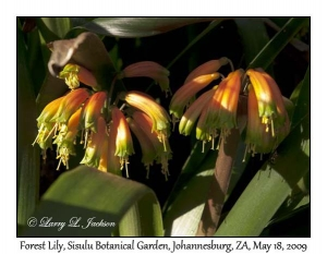 Forest Lily
