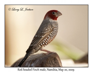 Red-headed Finch male