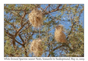 White-browed Sparrow-weaver nests