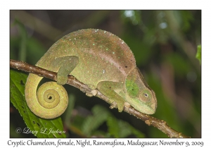 Cryptic Chameleon, female at night