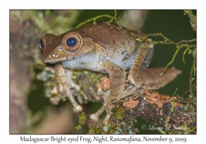Madagascar Bright-eyed Frog at night