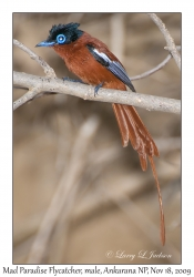 Madagascar Paradise Flycatcher, male