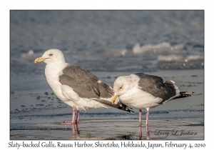 Slaty-backed Gulls