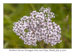 Northern Yarrow