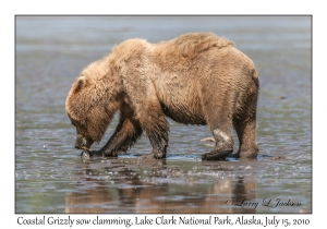 Coastal Grizzly sow clamming