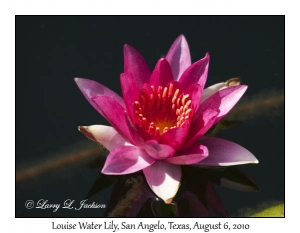 Louise Water Lily