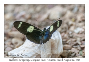 Wallace's Longwing