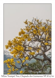 Yellow Trumpet Tree