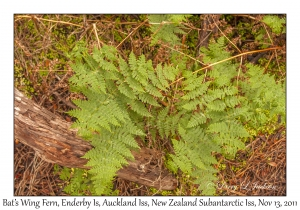 Bat's Wing Fern