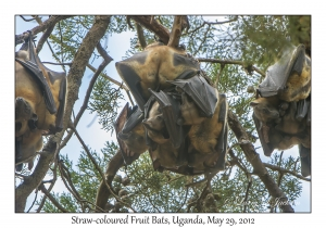 Straw-coloured Fruit Bats