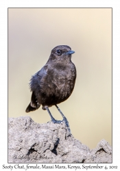 Sooty Chat, female