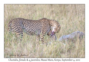 Cheetahs, female with 4 juveniles