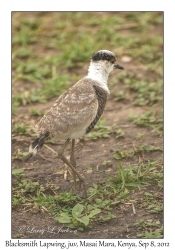Blacksmith Lapwing, juvenile