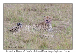 Cheetah at Thomson's Gazelle kill