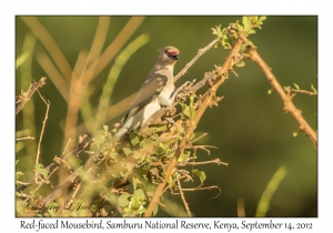 Red-faced Mousebird