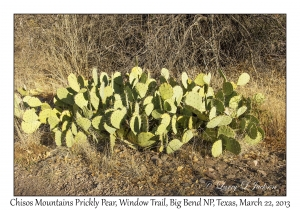 Chisos Mountains Prickly Pear