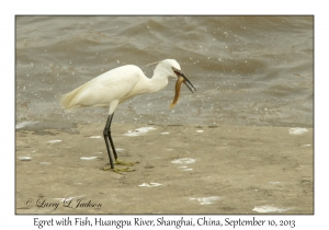 Egret with Fish, Huangpu River