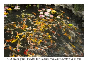Koi, Garden of Jade Buddha Temple