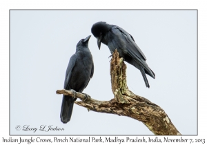 Indian Jungle Crows