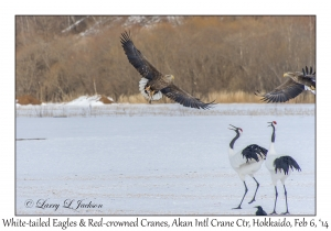 White-tailed Eagle & Red-crowned Cranes