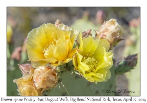 Brown-spine Prickly Pear
