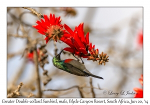 Greater Double-collared Sunbird, male