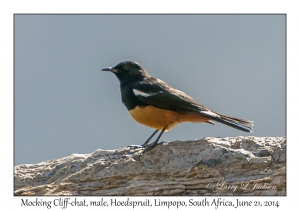 Mocking Cliff-chat, male