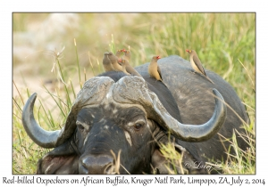 Red-billed Oxpecker on African Buffalo