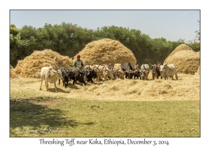 Threshing Teff