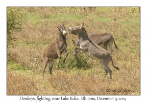 Donkeys, fighting